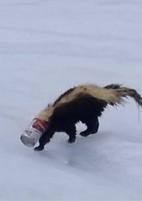 A skunk with a soup can stuck on its head was spotted running around White Potato Lake in Oconto County Monday, March 9, 2020.