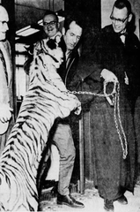 District Court Judge William R. Eads, is greeted Monday afternoon, March 10, 1969, by the principal in an ownership suit -- a seven-month-old tiger. The cub went bounding up the two flights of stairs at the Johnson County Courthouse, and informal introductions were made in front of the courtroom entrance. David Barber (center) of West Haven, Conn., is now undisputed owner of the tiger. At far left is Aubrey F. White, district court bailiff.