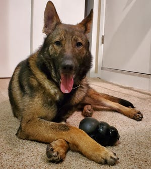 Arek, a German shepherd, is a new canine officer with the Germantown Police Department. He will be working third shift starting this spring.