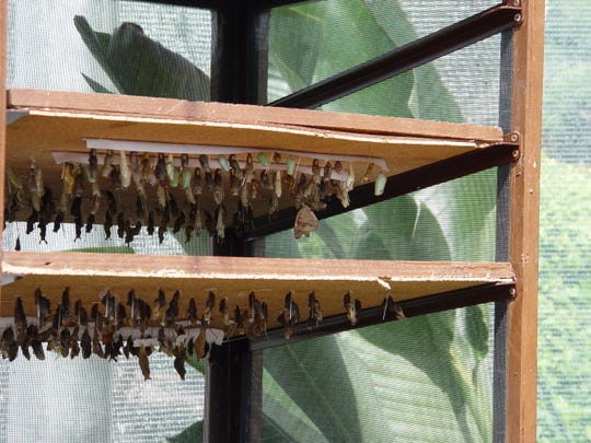 Once larvae mature, metamorphosis occurs inside these cocoons before they hatch into the mature winged phase of the life cycle.