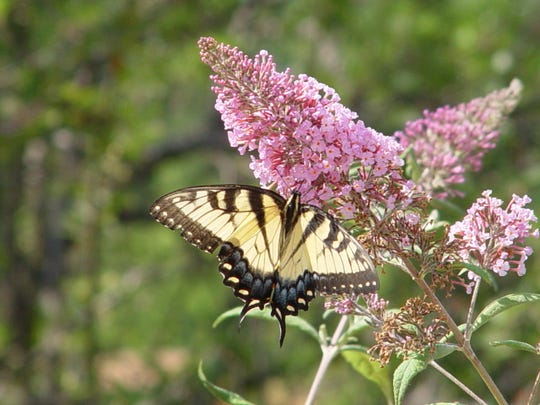The swallowtail butterfly, Papilio rutulus.