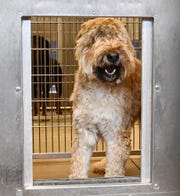 Max, a 3 year old male Bouvier des Flandres, is available for adoption at the York County SPCA in Manchester Township, Tuesday, March 10, 2020. Dawn J. Sagert photo