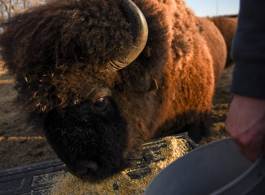 A bison licks the back of a truck bed as Kadyn Nolz dumps feed on Sunday, March 8, 2020 at Nolz Poor Farm Bison ranch in northern Sioux Falls.