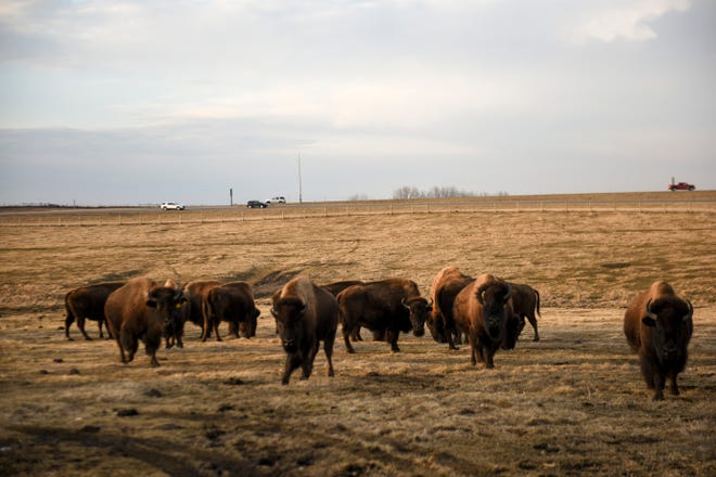 Cars drive on I-90 as bison graze in the pasture on Sunday, March 8, 2020 at Nolz Poor Farm Bison ranch in northern Sioux Falls.