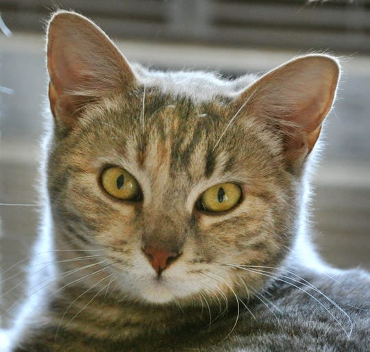 Say hello to 10-month-old Mindy. She is a playful domestic short hair, mix that wants to find a way into your heart. You can meet Mindy at the Humane Society of Wichita County.