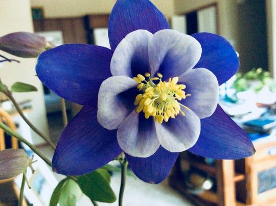 A blue columbine from Judy's garden.