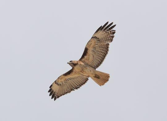 A hawk flies over Indio Hills Badlands hiking trail in north Indio, March 6, 2020.