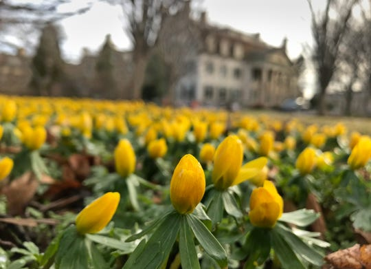 A sure sign of the arrival of spring, Winter Aconites in bloom at the George Eastman House in Rochester Wednesday, March 11, 2020.