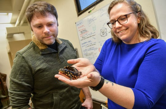 Biology professors Jennifer Lamb and Matt Davis display an Eastern Tiger Salamander named Hot Dog Tuesday, March 10, 2020, at St. Cloud State University. Lamb and Davis have published a study in the journal Scientific Reports that shows that many species of amphibians have the ability to fluoresce.