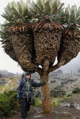 Carol Otremba stands next to a type of Giant Groundsel unique to Mount Kilimanjaro, a flowering plant that never drops its leaves, during an early 2020 hiking trip.