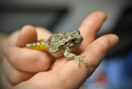 Assistant professor of biology Jennifer Lamb holds a small tree frog Tuesday, March 10, 2020, at St. Cloud State University.