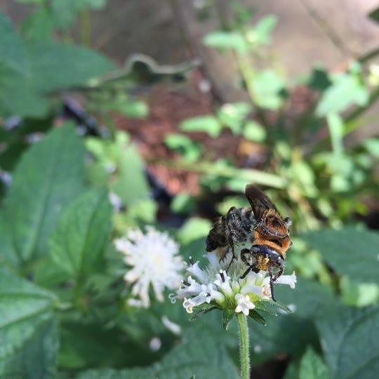 Pineland squarestem (Melanthera nivea) is a native flowering plant that helps support pollinators.