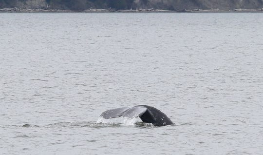 Gray whales have been spotted this year in the Puget Sound between Everett and Whidbey Island.