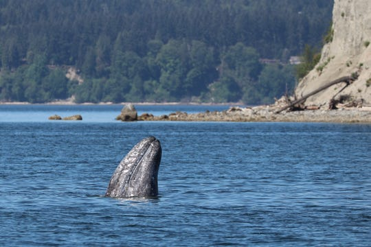 A gray whale is seen during an Island Adventures whale watching tour. Island Adventures is based out of Everett.