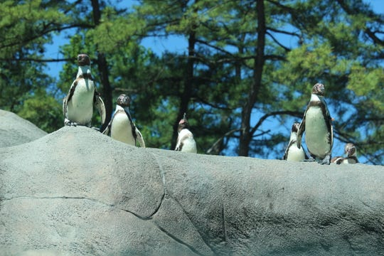 You can watch a live cam of Penguin Point at the Philadelphia Zoo as a way to learn about the creatures.