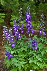 New Millennium™ Purple Passion Larkspur