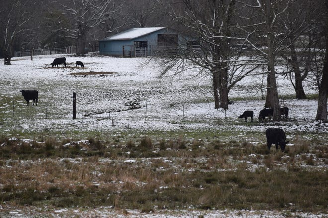 Cows graze off U.S. Highway 41 in Grundy County, Tennessee, Feb. 28, 2020.