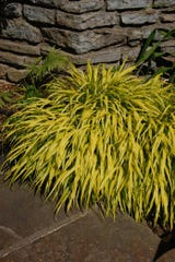 'All Gold' Japanese Forest Grass is one of the best for brilliant gold foliage color.