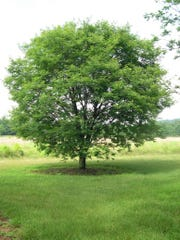 The Amur maackia is an excellent small tree for Kentucky landscapes. It's late spring white blooms are excellent for attracting local pollinators.
