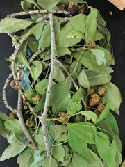 Ash tree leaves from a sample submitted to the NMSU Plant Diagnostic Clinic in Sept. 2019 look green and healthy. The rough, round, brown bits are galls formed by the ash flowergall mite, but they do not harm the tree itself.