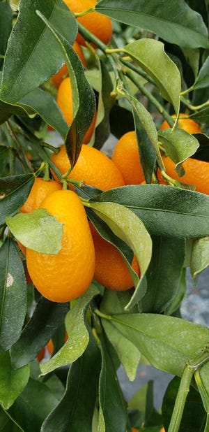 Kumquats are cold resistant and have small fruit that is tart and acidic.