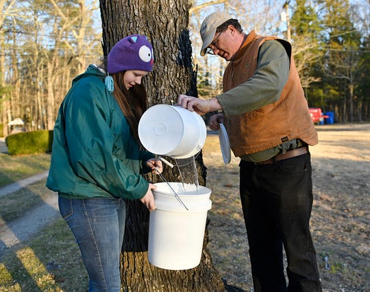 Violet Vogel and her father Frank make frequent stops around their neighborhood to collect sap water from friends who have graciously been letting them tap trees for the past 6 years.