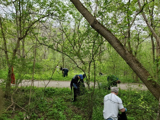Volunteers remove invasive garlic mustard at a Spring 2019 work day organized by Oakland County CISMA partners.