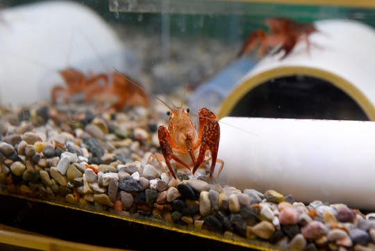 A red swamp crayfish in a tank in the lab at Michigan State University's campus animal resources containment facility in East Lansing, Thursday, March 12, 2020.