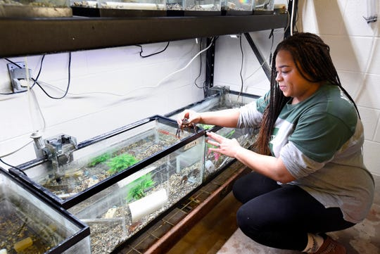 Michigan State University Fisheries and Wildlife graduate research assistant Samantha Strandmark picks up a large red swamp crayfish as she works in MSU's campus animal resources containment facility in East Lansing, Thursday March 12, 2020.