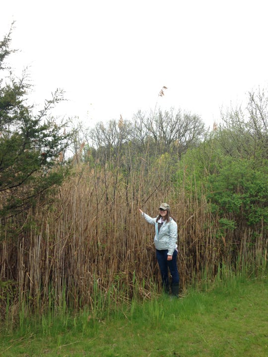 Oakland County CISMA Technician Emily Messick stands next to a stand of invasive phragmites, which can grow up to twenty feet tall.