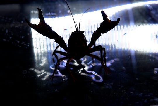 A red swamp crayfish strikes a defensive posture at  Michigan State University's campus animal resources containment facility in East Lansing, Thursday, March 12, 2020.
