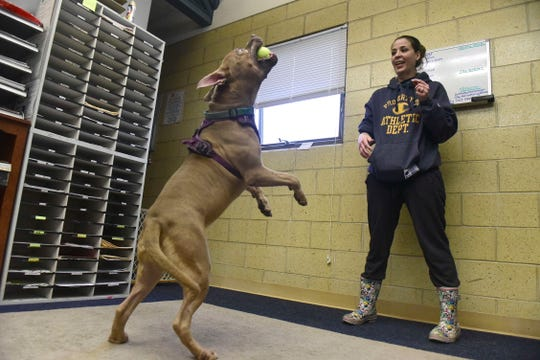 Karson, a 6-year-old pit bull mix, catches a tennis ball tossed by April Friend during Thursday evening's dog-adoption event at the Richland County Dog Shelter.