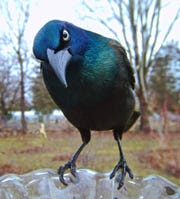 The common grackle.