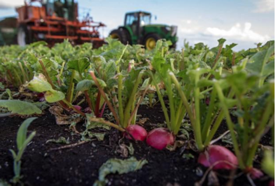 The recommended spacing for radishes is three to six inches, giving the roots enough space so they can easily absorb nutrients and producing fuller, healthier plants.