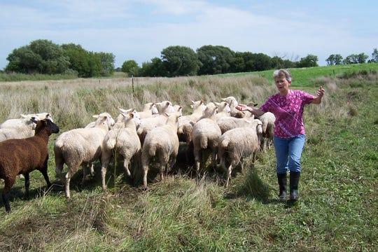 Barb Salas of Burnett has been grazing sheep on her farm for a couple of decades and says she is still learning tricks to the trade.