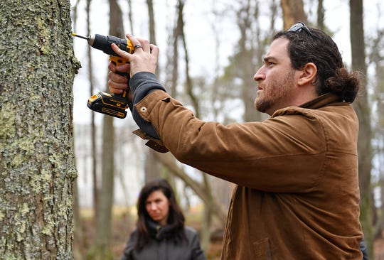 Aaron Stoler, Associate Professor of Environmental Science, drills a hole in a  tree for sap extraction during a demonstration at Stockton University to promote maple syrup harvesting in South Jersey.