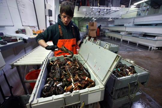 Issac Nicoll packs lobsters for shipment Friday at the Lobster Company in Kennebunkport, Maine.
