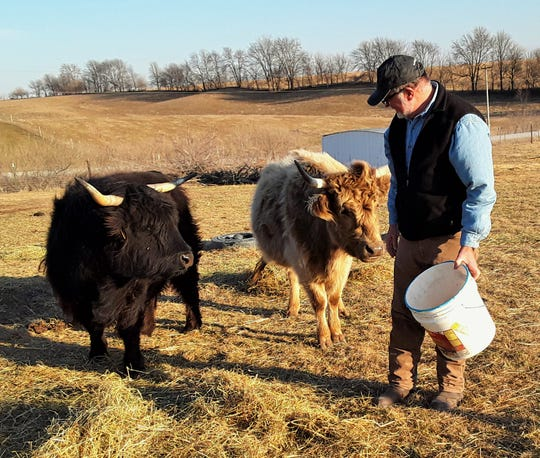 Two pregnant Highland females at Walker Homestead enjoy corn from a bucket, courtesy of co-owner Bob Walker. They are the breeding stock for a future herd of Highlands at the educational farm and winery located just west of Iowa City.
