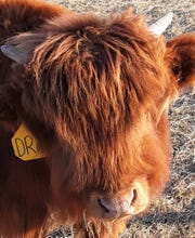 Duke, a three-month-old steer now residing at Walker Homestead, shows the familiar shaggy face of the unique Highland breed of cattle that roam the hills of Scotland. Note the budding horns.