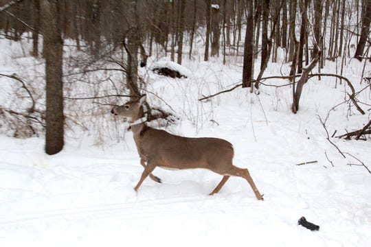 A newly-collared adult female white-tailed deer trots away from researchers. The animal was fitted with a GPS collar as part of the Southwest Wisconsin CWD, Deer and Predator Study.