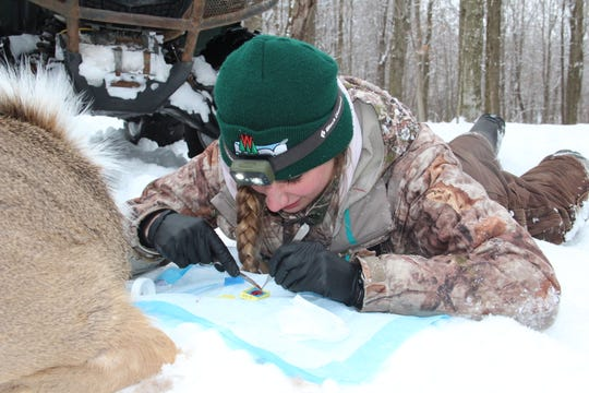 Dana Jarosinksi, a DNR wildlife technician, prepares a tissue sample taken from a sedated white-tailed deer near Dodgeville as part of the Wisconsin CWD, Deer and Predator Study.