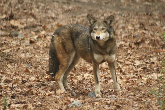 Shiloh is the Salisbury Zoo's 7-year-old red wolf