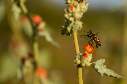 Bees investigate Globemallows at Phoenix Sonoran Preserve March 14, 2020.