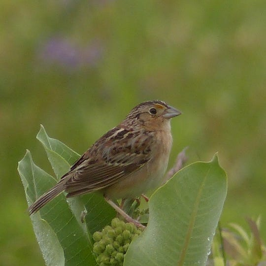 A grasshopper sparrow in Dorbrook Recreation Area, Colts Neck.
