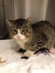 This cat was found with an arrow in its abdomen, according to Ingham County Animal Shelter officials.