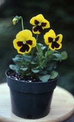Brightly colored pansies are ideal for adding color to the early spring landscape.