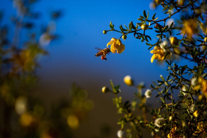 A bee pollinates a creosote flower at Lost Dog Wash Trail in McDowell Sonoran Preserve on March 15, 2020.