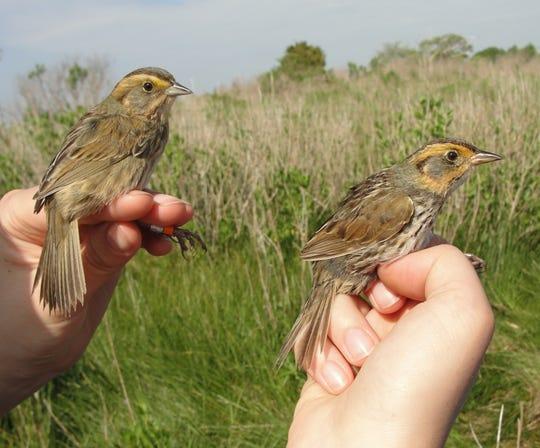 A Nelson's Sparrow and a Saltmarsh Sparrow at Barn Island, Connecticut.