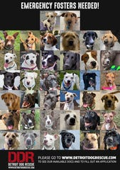 Detroit Dog Rescue, is in need of foster homes for dogs as part of their efforts to limit volunteers and visitor traffic in their facility.