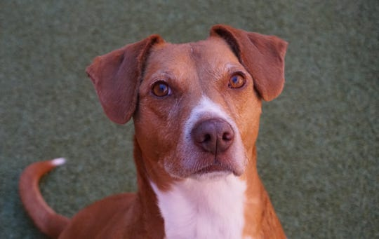 The Farmington Regional Animal Shelter has closed its doors to the public, but adoptions continue by appointment only. The shelter is waiving adoption fees for adult dogs like Kanan, pictured here in this undated courtesy photo.